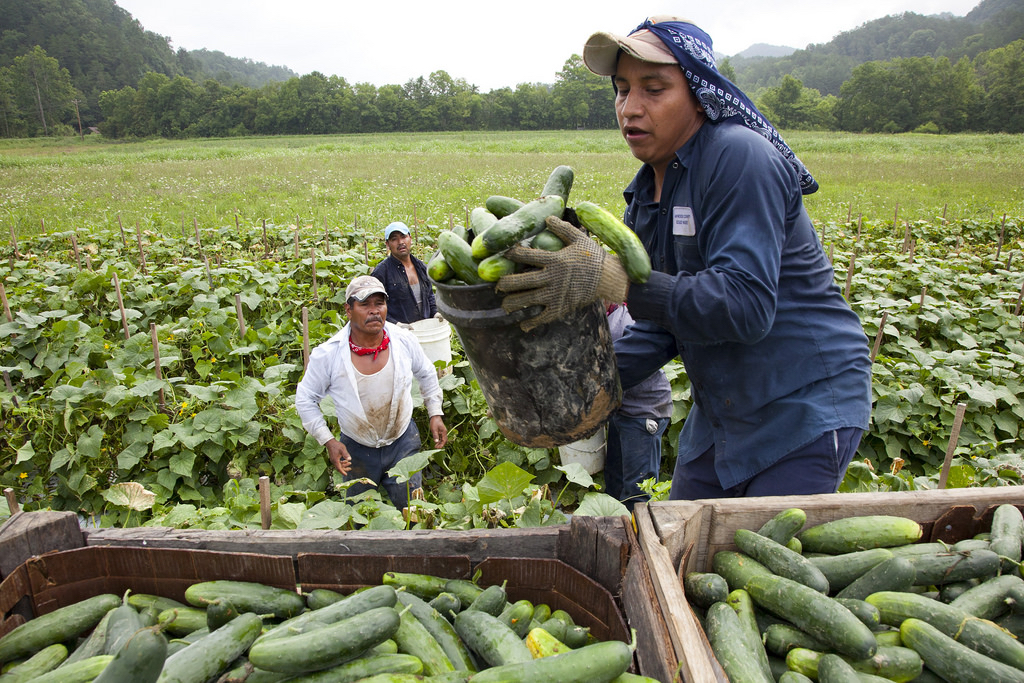 Migrant workers load cucumbers at farm in VA. Almost three-fourths of all hired US farm workers are immigrants, most of them unauthorized. Photo by Laura Elizabeth Pohl/Bread for the World.
